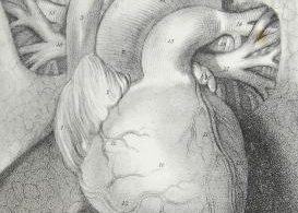 Kettlemag, Lindsay Dodgson, heart, anatomy, heart drawing